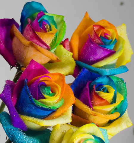 وردة قوس قزح Image002-1