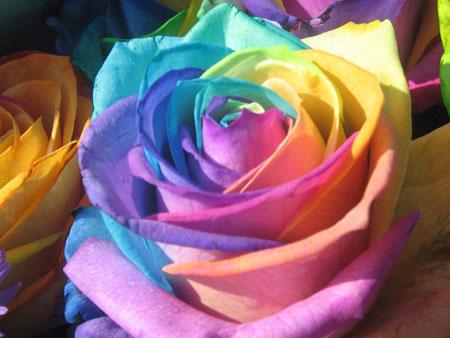 وردة قوس قزح Image004-1